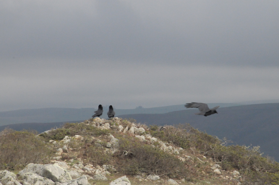 Black birds at Tomales Point