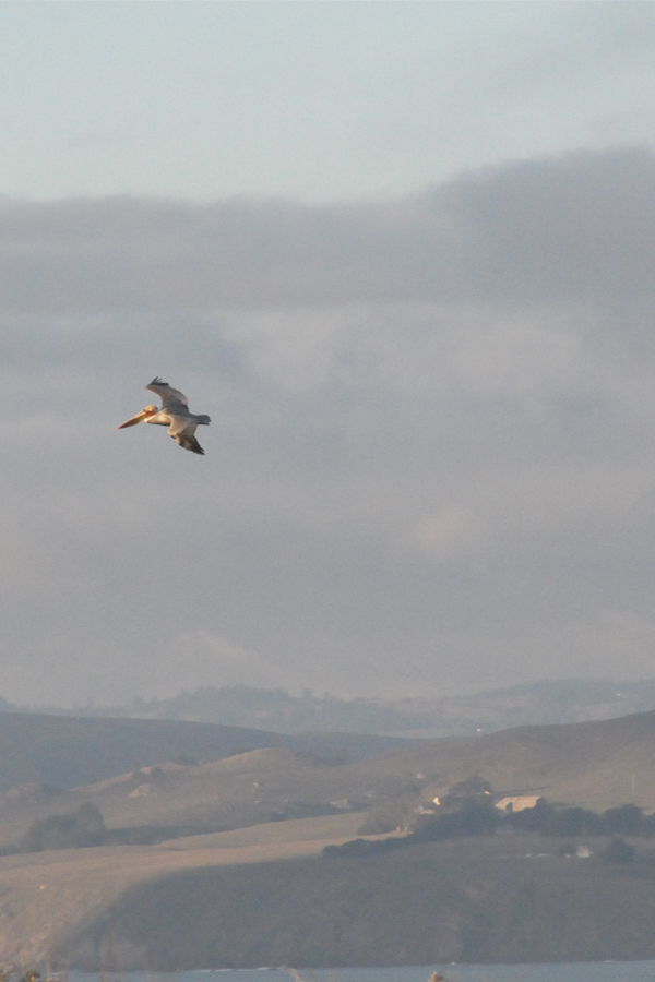 Pelican at Tomales Point